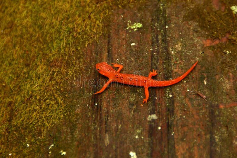 Eft salamander on mossy log stock photography