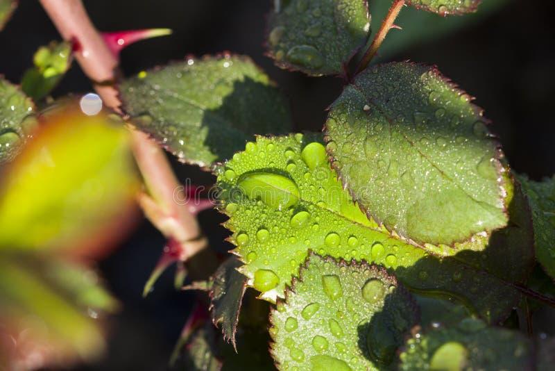 Efter droppar för regnvatten på gröna sidor i trädgården arkivbilder