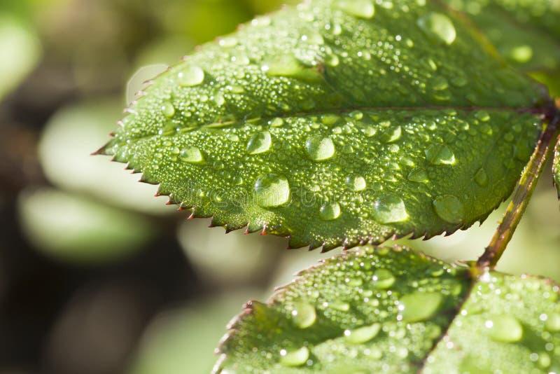 Efter droppar för regnvatten på gröna sidor i trädgården arkivfoto