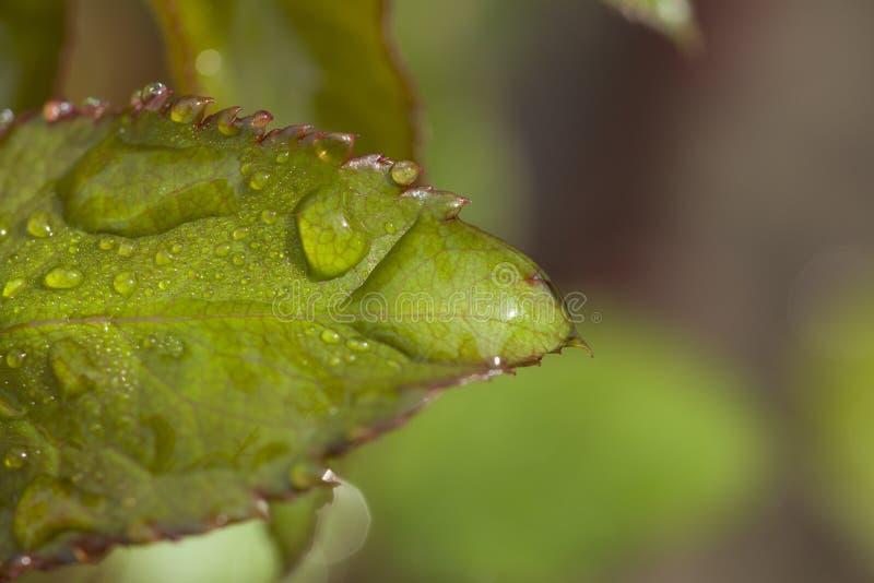 Efter droppar för regnvatten på gröna sidor i trädgården royaltyfri bild