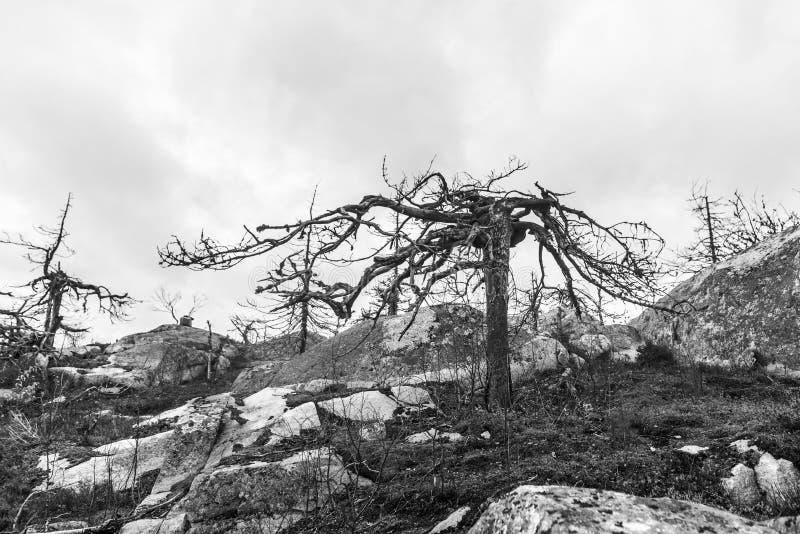Efter skogsbrand svart white arkivbilder