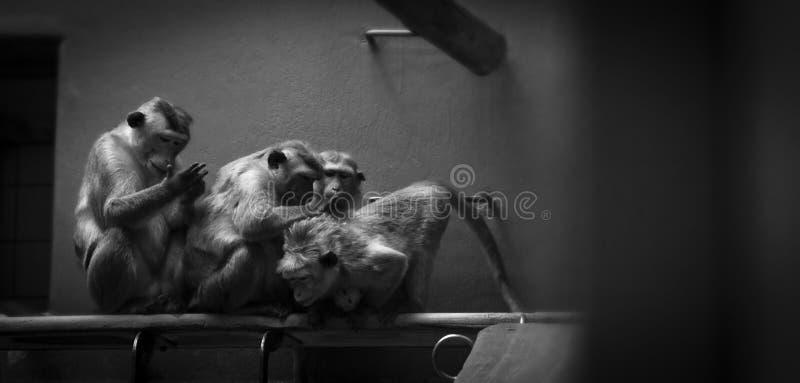Efterapar credo i zoo royaltyfri foto