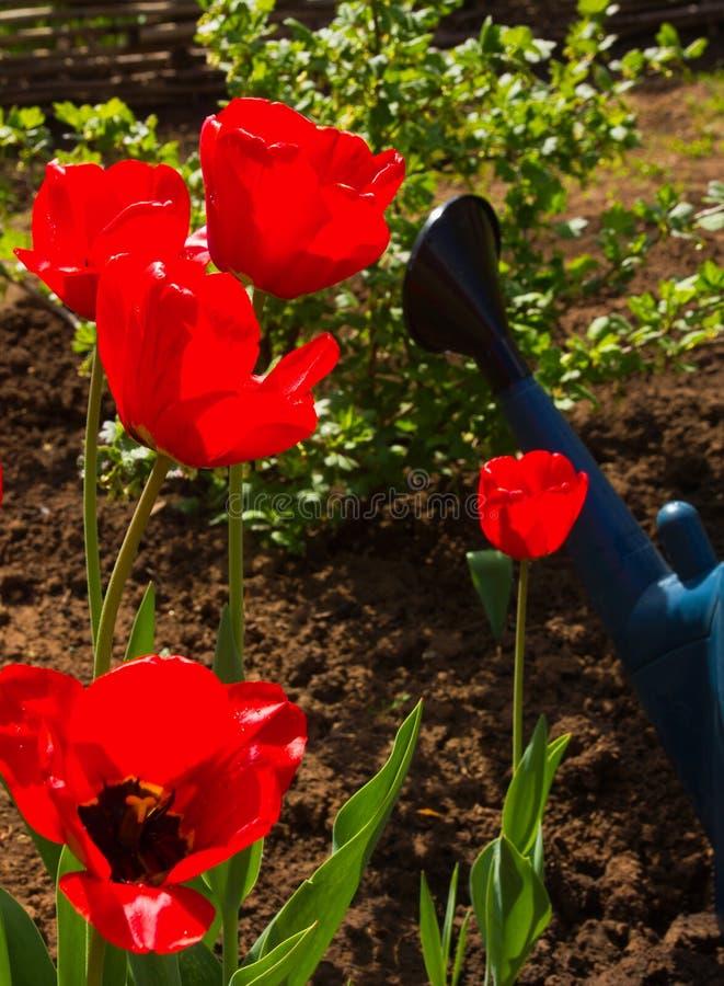 Eftermiddag för tulpan på våren i garden arkivfoto