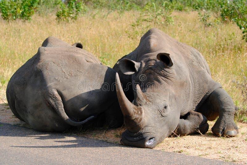 Eftermiddagen ta sig en tupplur - den Kruger nationalparken arkivfoton