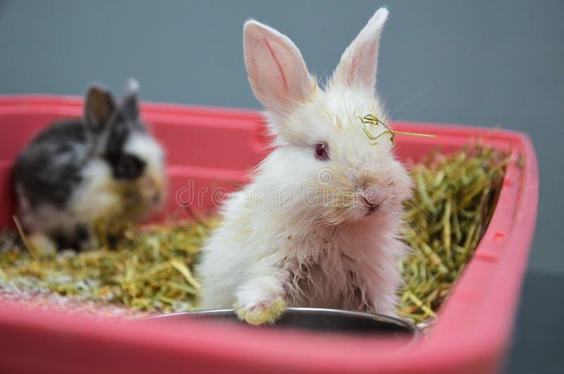 Eftersatta och sjuka unga kaniner med övrerespiratorisk infektion på en veterinär- klinik royaltyfri fotografi