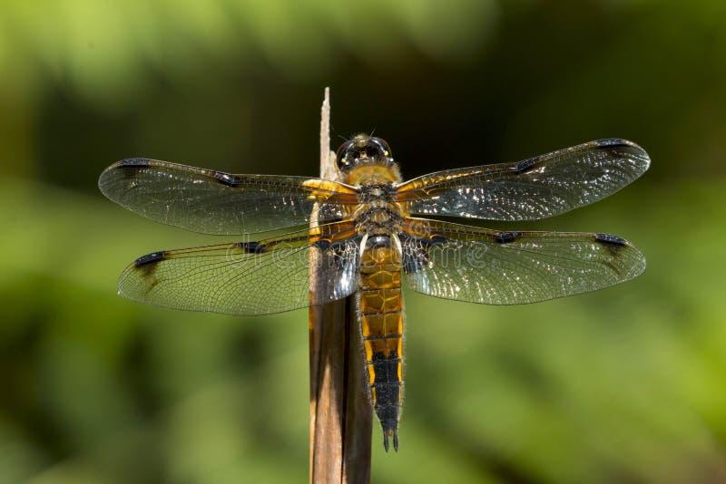 Eftersläckareslända för fyra fläck, libellulaquadrimaculata royaltyfri fotografi