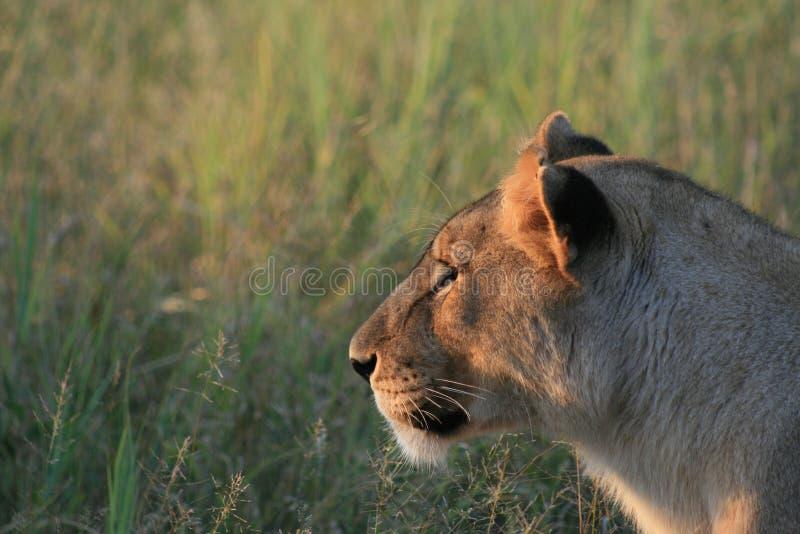 eftertänksam lioness arkivfoton