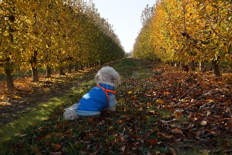 Eftertänksam vit pudelhund som ser horisonten i mitt av fältet royaltyfri bild