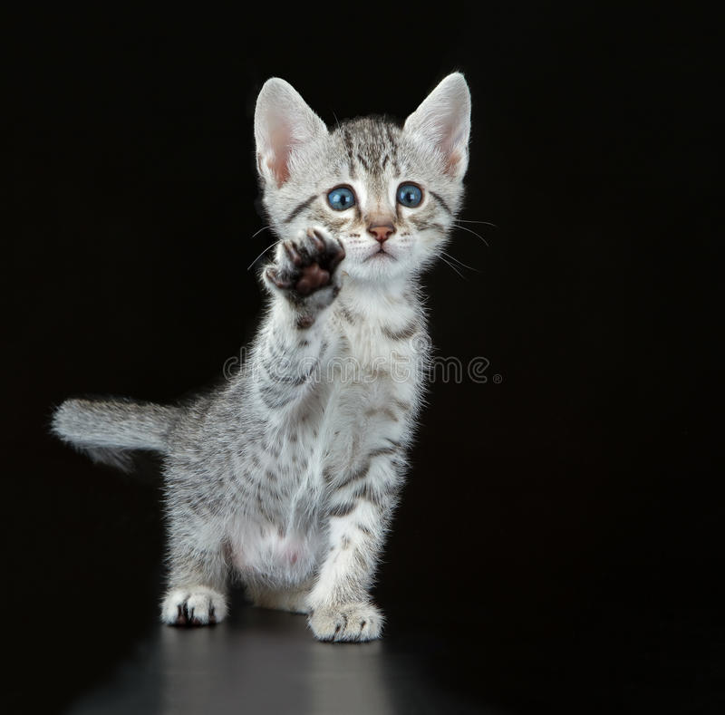 Egípcio bonito Mau Little Kitten fotografia de stock royalty free