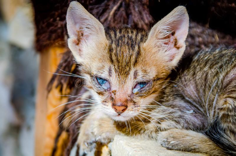 Egípcio pobre vaquinha strany velha de poucos dias com infecção nos olhos azuis fotografia de stock