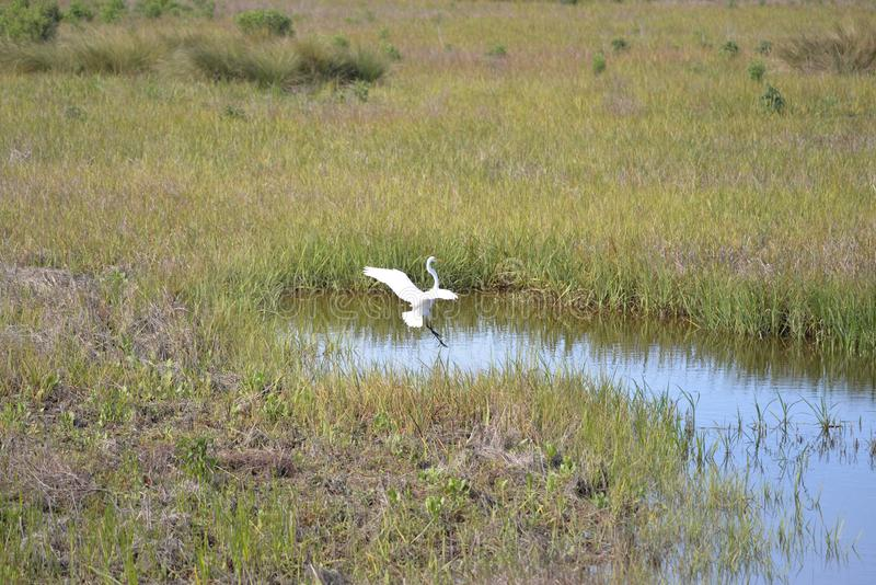 Great Egret lands in the shallow waters of the island marsh. The Egans Creek Greenway on Amelia Island is filled with wading birds royalty free stock images