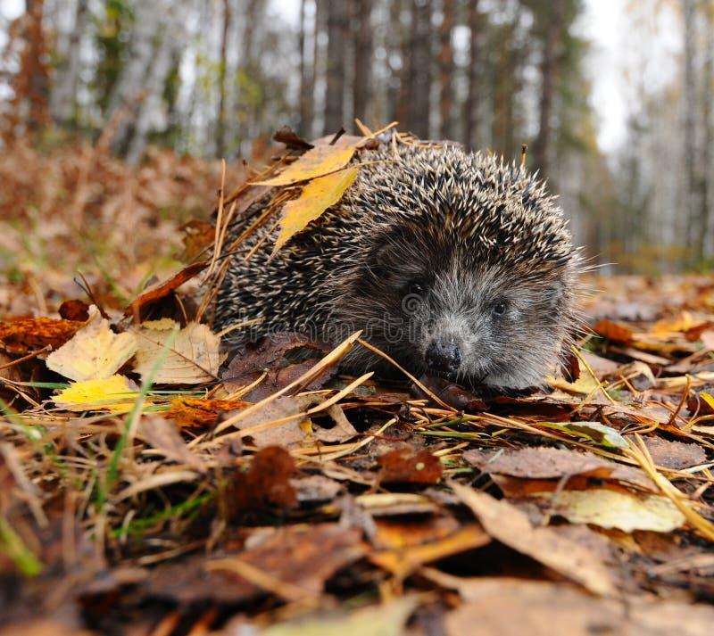 Egel in de herfst stock fotografie