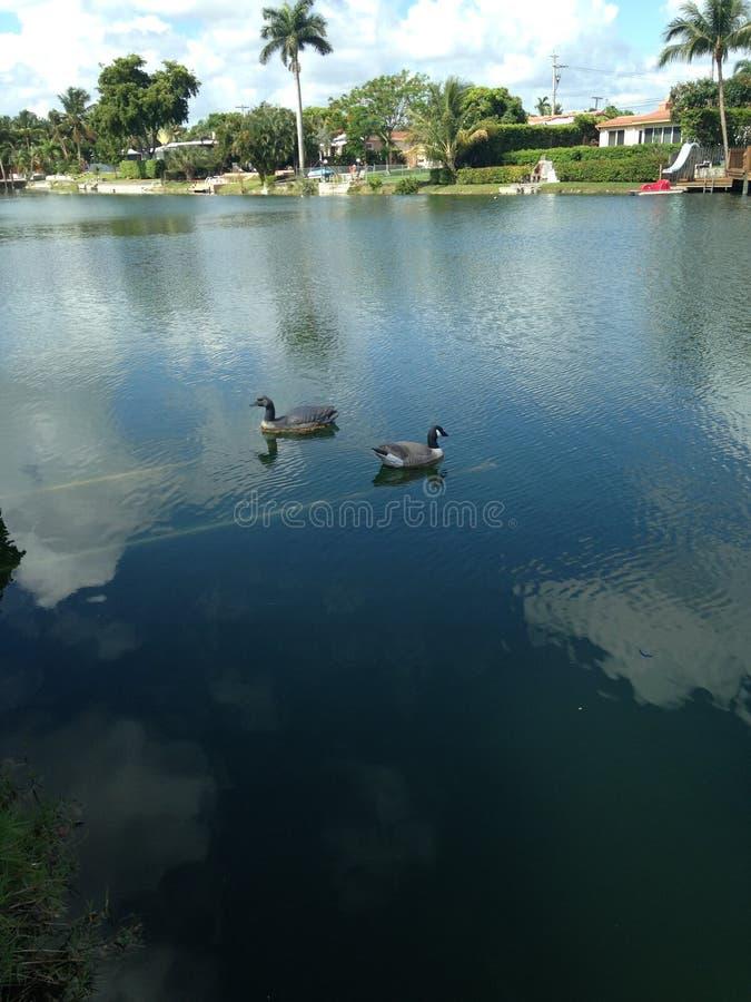 Egentligen är vi verkliga? Manlig gräsand på sjön royaltyfria foton