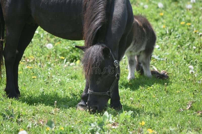 Egentligen förtjusande Shaggy Black Mini Horse i att beta arkivbild