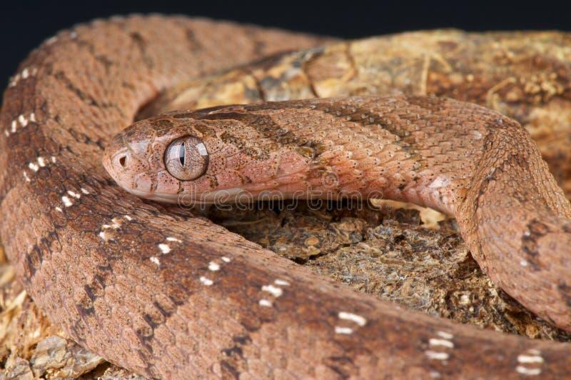 Egg-eating snake