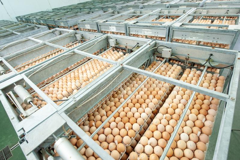 Egg Factory with GOOD Quality Control. Egg production line from breeders in Hatchery Unit modern Factory stock photo
