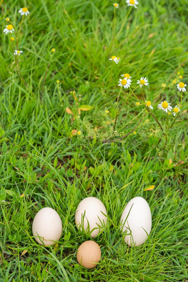 Egg family on the grass with camomile. In the nature royalty free stock photos