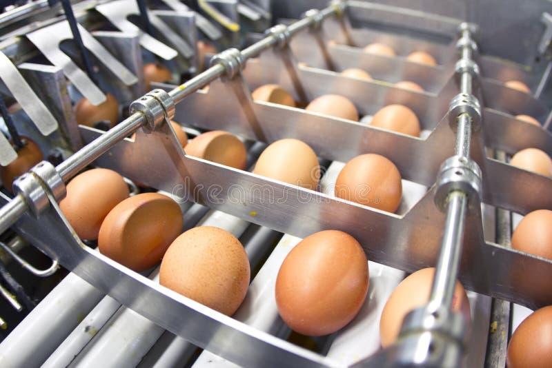 Egg farm stock image