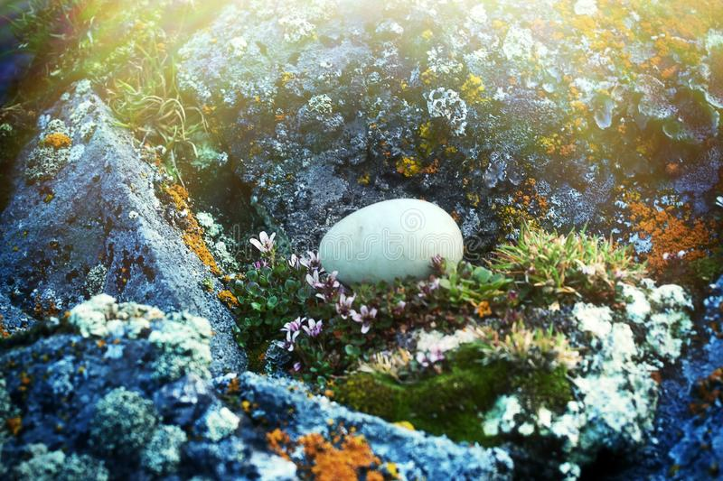 The egg of the Little Auk (Alle alle. The egg (always one egg per clutch) of the Little Auk (Alle alle) is extracted from a hole and lies between amazing flowers stock photo