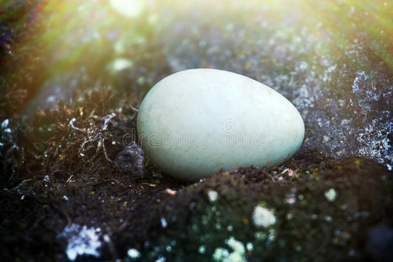The egg of the Little Auk (Alle alle. The egg (always one egg per clutch) of the Little Auk (Alle alle) is extracted from a hole and lies between mosses and royalty free stock images