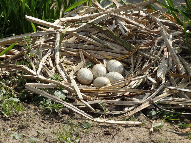 Egg nest royalty free stock photography
