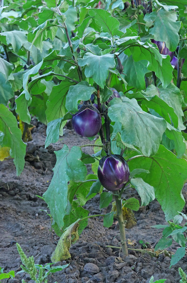 Download Egg plant stock photo. Image of farm, nutrition, eggplant - 26396490