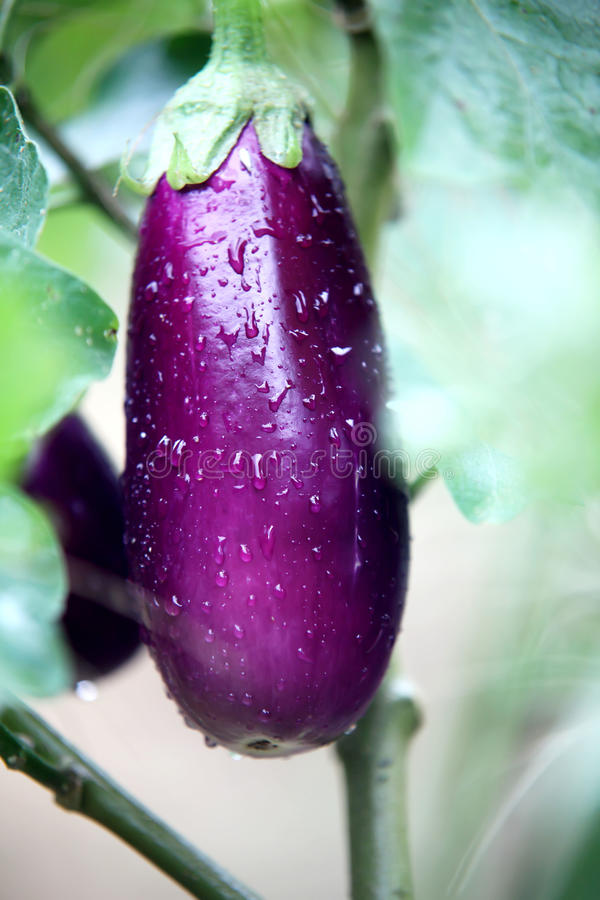 Egg Plant. Ready to pick ripe egg plant from the vein stock photography