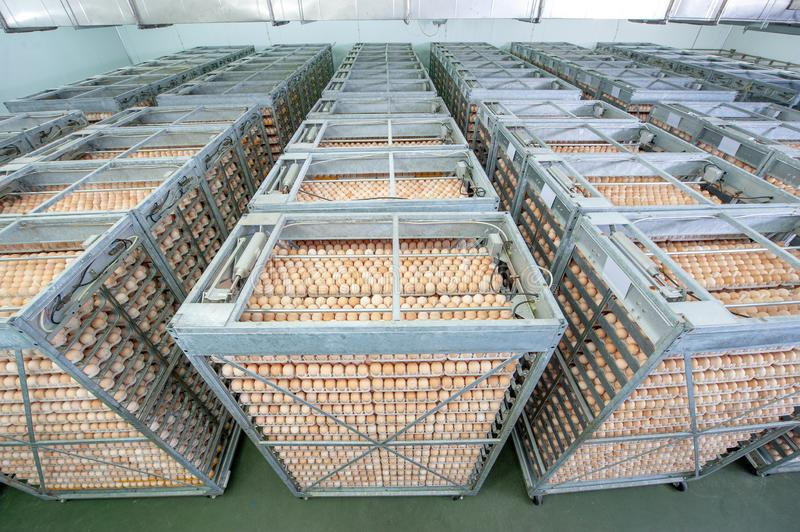 Egg Factory with GOOD Quality Control. Egg production line from breeders in Hatchery Unit modern Factory stock photos