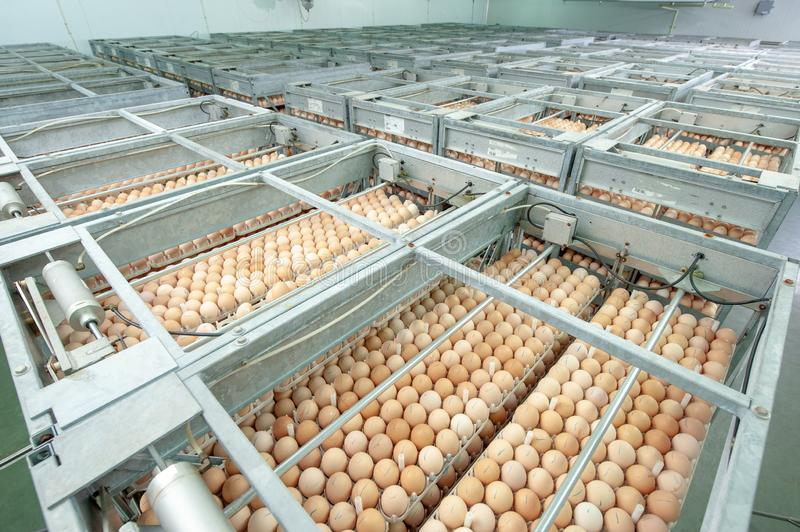 Egg Factory with GOOD Quality Control. Egg production line from breeders in Hatchery Unit modern Factory stock images
