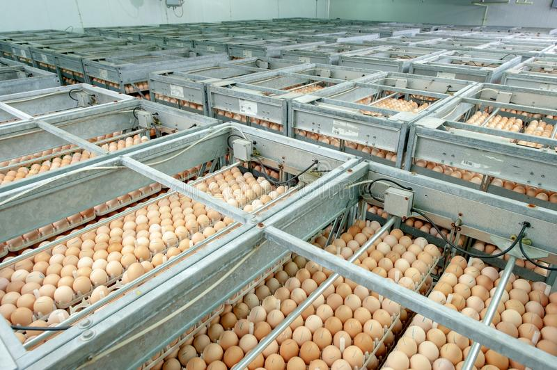 Egg Factory with GOOD Quality Control. Egg production line from breeders in Hatchery Unit modern Factory royalty free stock photography