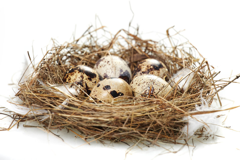Egg in a real nest stock image