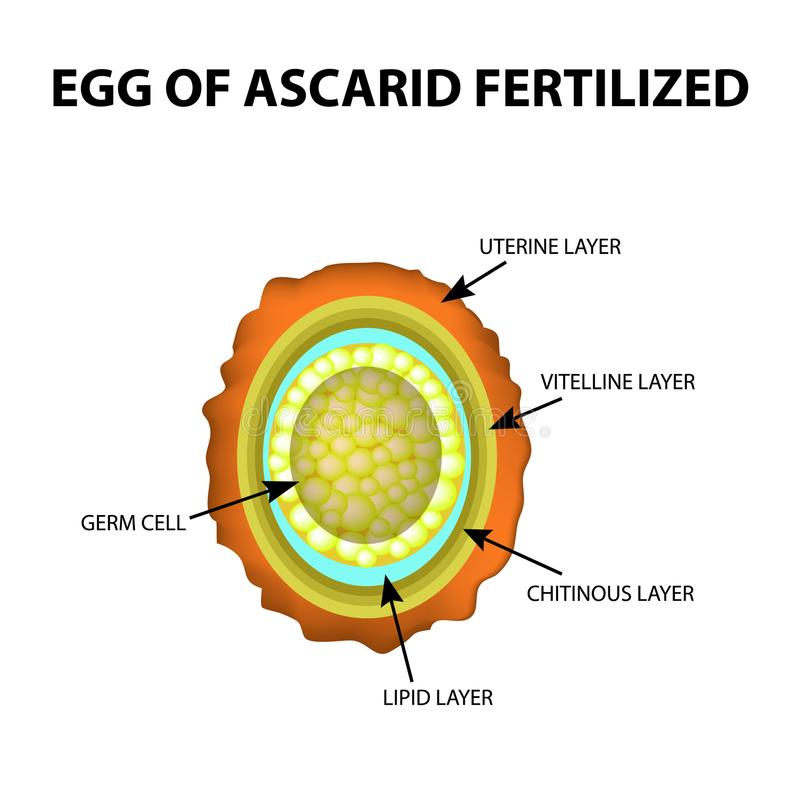 The egg of the roundworm is fertilized. Structure of Ascaris eggs. infographics. Vector illustration on isolated background. The egg of the roundworm is stock illustration