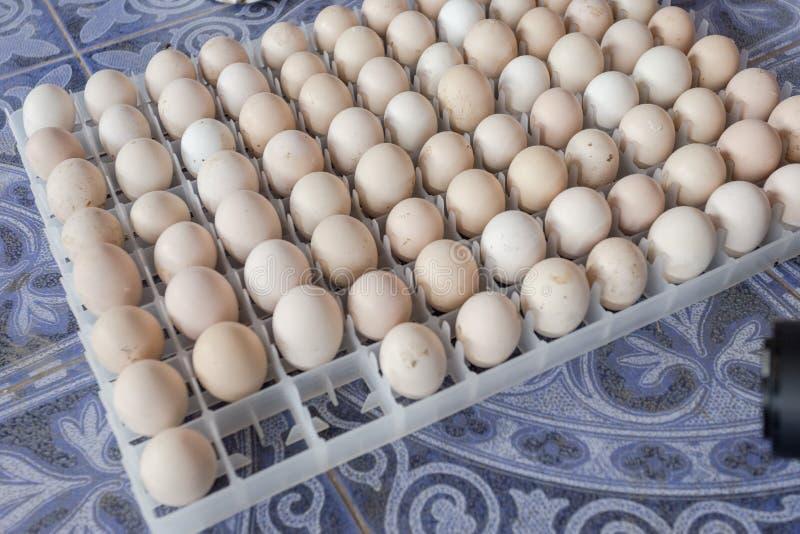Egg wait born in farm. Eggs wait born in farm thailand stock images