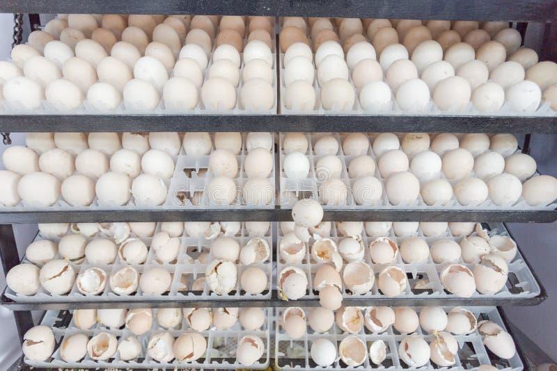 Egg wait born in farm. Egg wait born future in farm thailand royalty free stock image