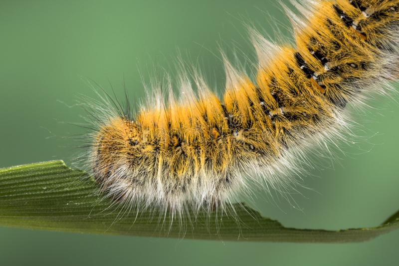 Eggar Moth Caterpillar. Eggar Moth lasiocampa trifolii caterpillar nearly fully grown royalty free stock photography