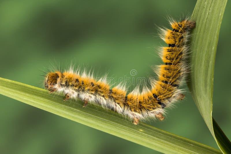 Eggar Moth Caterpillar. Eggar Moth lasiocampa trifolii caterpillar nearly fully grown stock photo