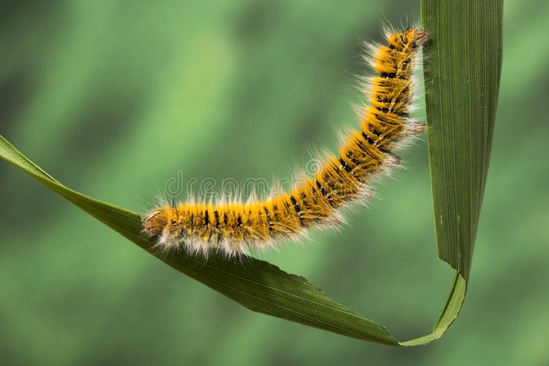Eggar Moth Caterpillar. Eggar Moth lasiocampa trifolii caterpillar nearly fully grown royalty free stock photos
