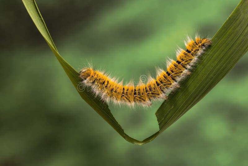 Eggar Moth Caterpillar. Eggar Moth lasiocampa trifolii caterpillar nearly fully grown stock photos