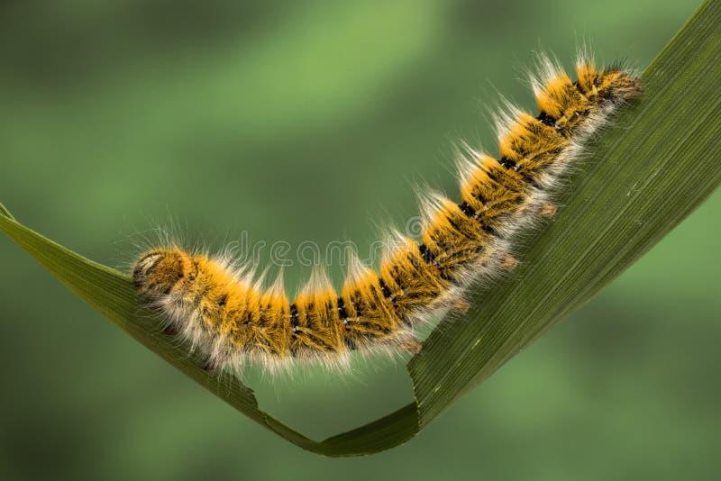 Eggar Moth Caterpillar. Eggar Moth lasiocampa trifolii caterpillar nearly fully grown stock images