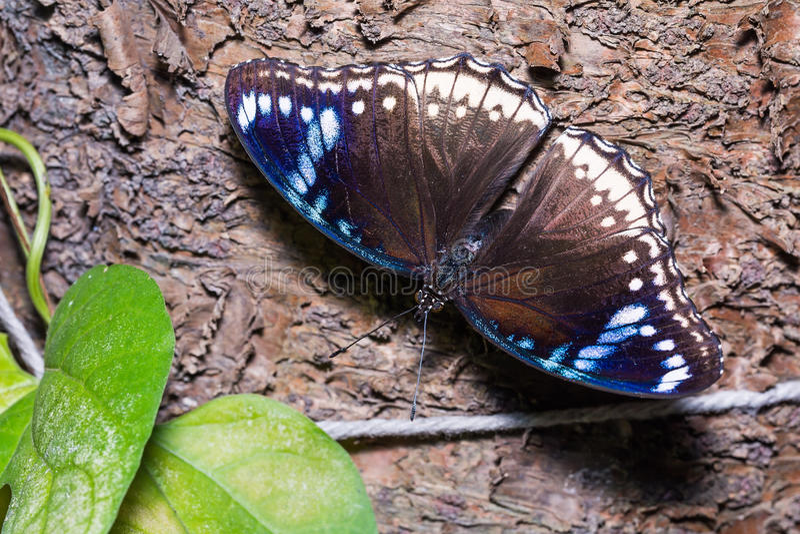 eggfly πεταλούδων μεγάλο στοκ φωτογραφίες με δικαίωμα ελεύθερης χρήσης