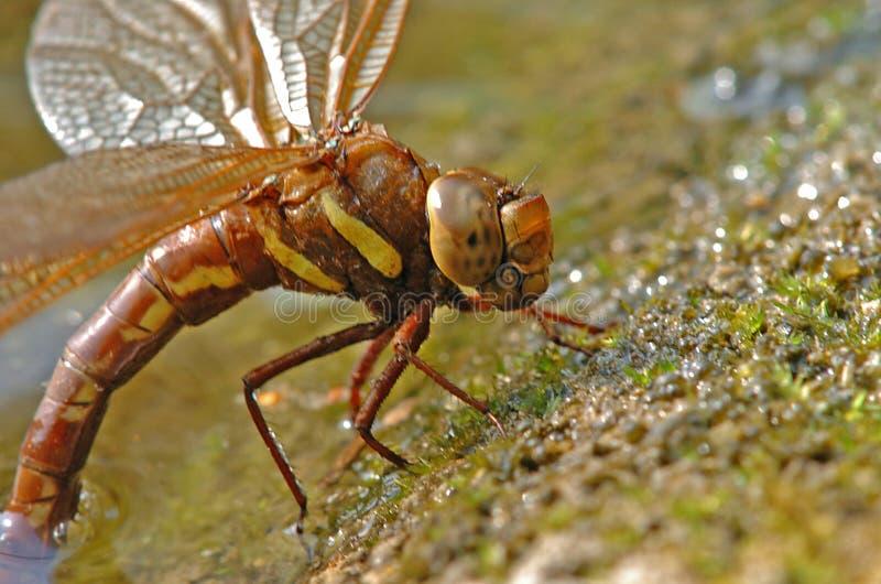 Egglaying brown dragonfly stock photography