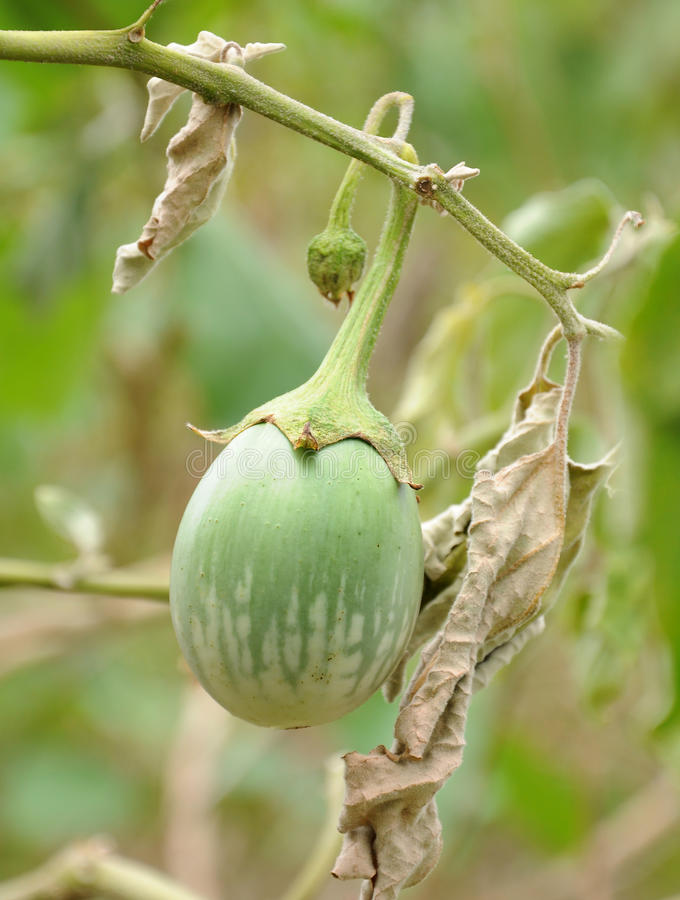 Download Eggplant stock photo. Image of healthy, produce, indian - 37725166