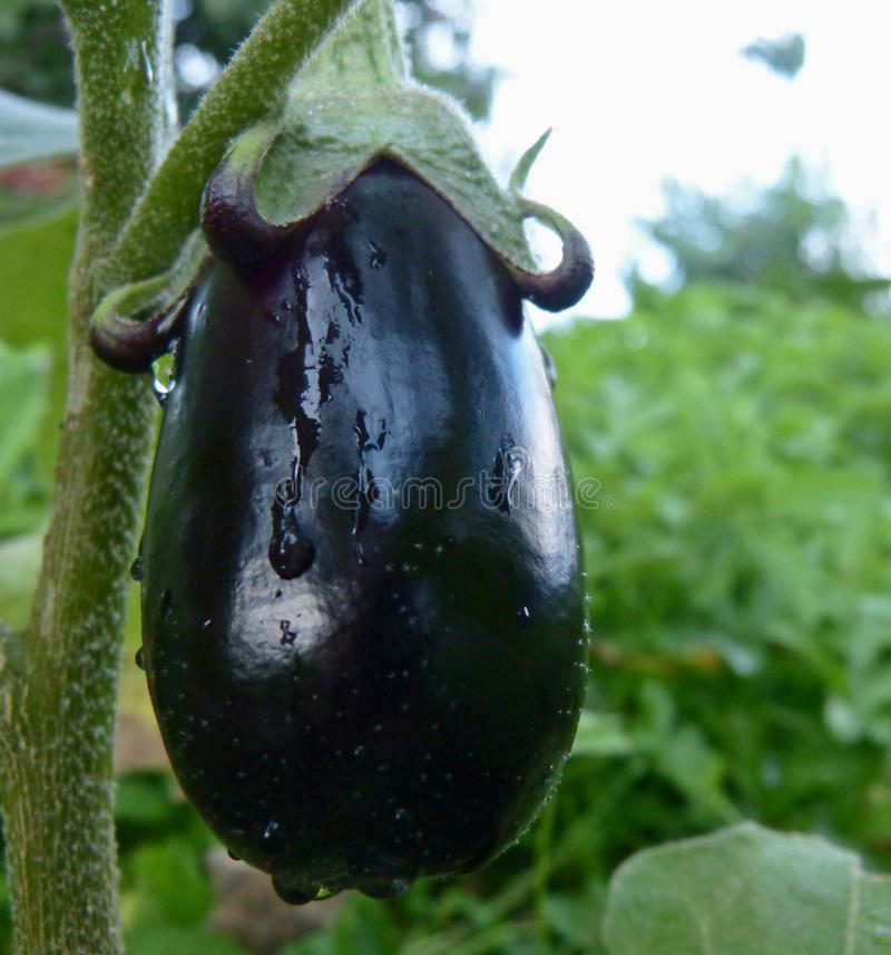 eggplant foto de stock royalty free
