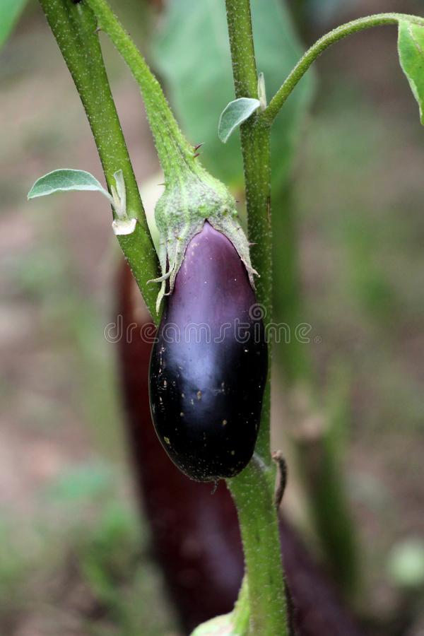 Eggplant or Aubergine delicate tropical perennial annual plant with egg shaped glossy dark purple edible fruit growing in local royalty free stock image