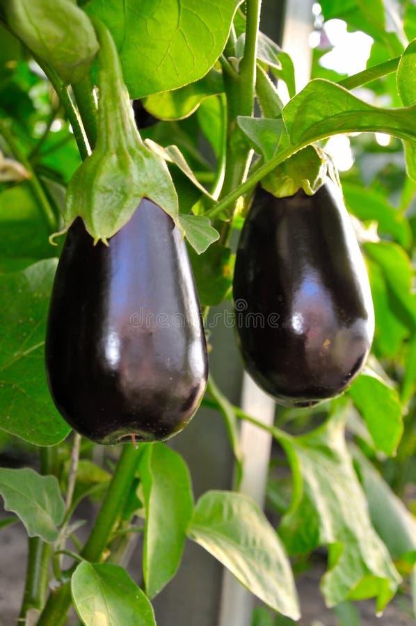Eggplant aubergine in the greenhouse. Organic Eggplant aubergine in the greenhouse royalty free stock image
