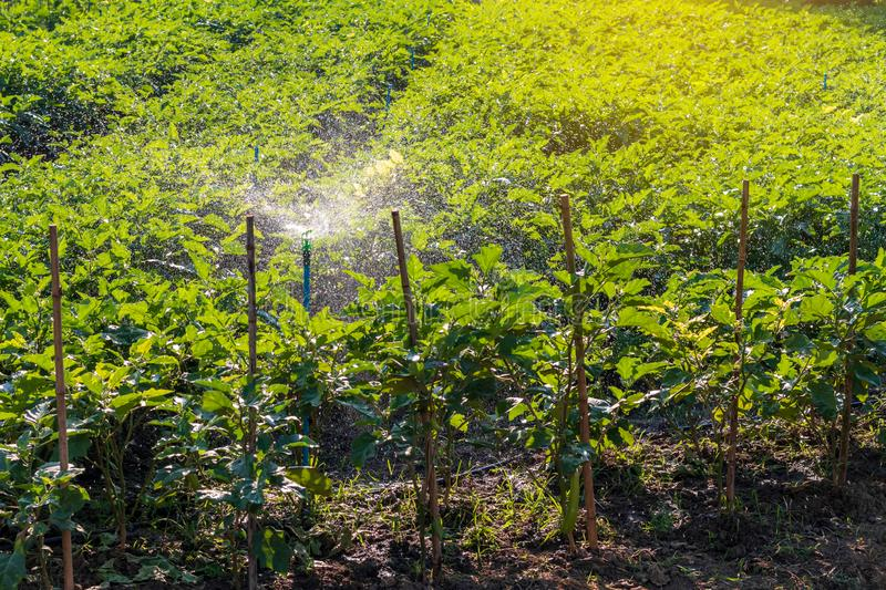Eggplant field crops with water spraying systems royalty free stock photo