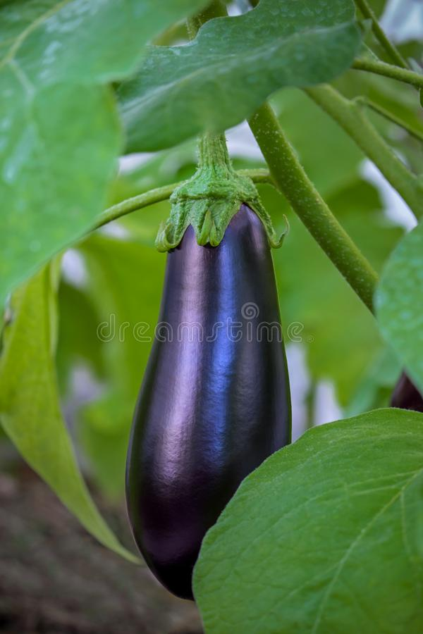 Eggplant grows in the garden stock images
