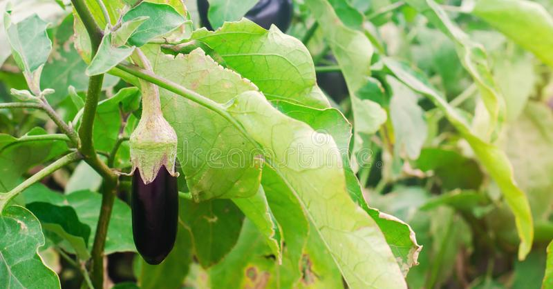 Eggplant harvest on the field. fresh organic vegetables. agriculture, farm. healthy food aubergine.  royalty free stock images