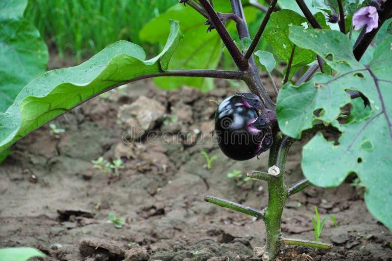 Eggplants royalty free stock photos