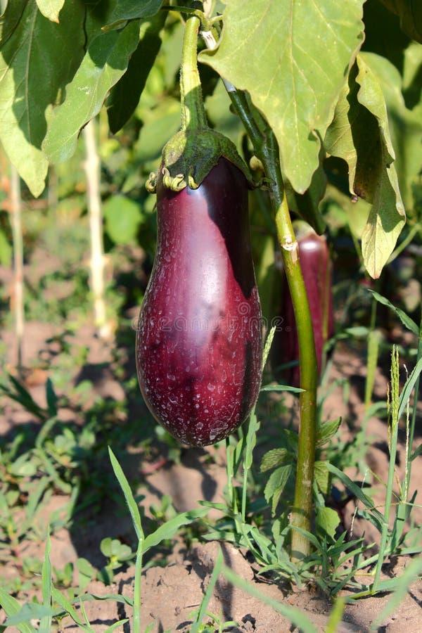 Eggplants In The Garden Stock Image